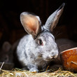 Cute rabbit popping out of a hutch (European Rabbit - Oryctolagu