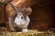 Cute rabbit popping out of a hutch (European Rabbit - Oryctolagu