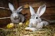Young rabbits in a hutch (European Rabbit - Oryctolagus cuniculu