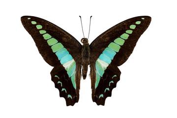 Butterfly species Graphium sarpedon