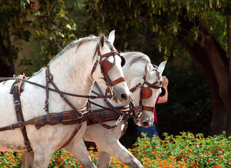 carriage white horses in Jeres,  Spain