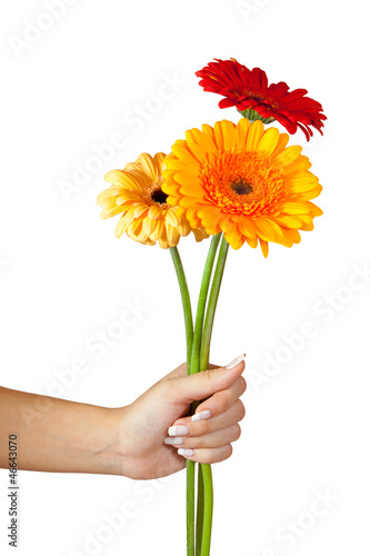 three daisy flowers in hand. Isolated over white