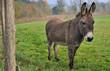 joli âne dans son enclos