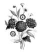 Flowers : Dahlia & Cineraire