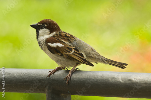 bird - tree sparrow on the green background