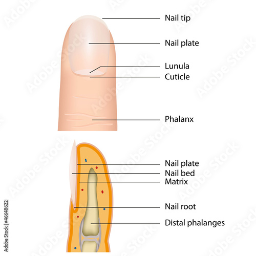 fingernail medical vector illustration, english description