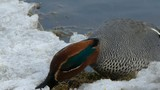 Teal on the snow. Alzavola sulla neve