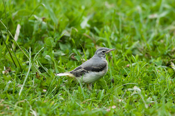 Grey wagtail fledgling juvenile on grass