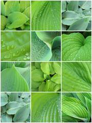 leaves_hosta_varieties