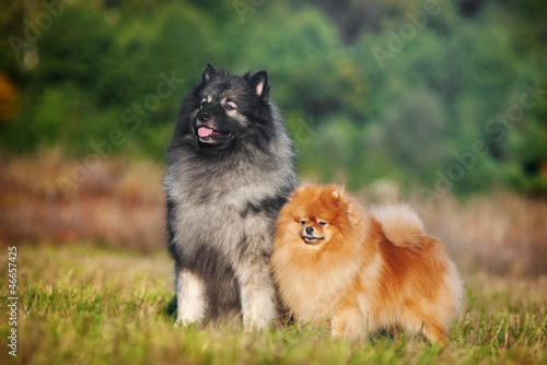 Two Spitz in the meadow