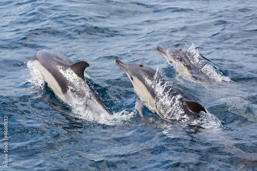 Poster Dolfijnen Common Dolphins swimming in ocean