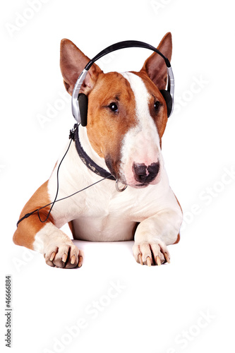 Bull terrier in earphones