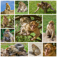 Composition de photos de macaques