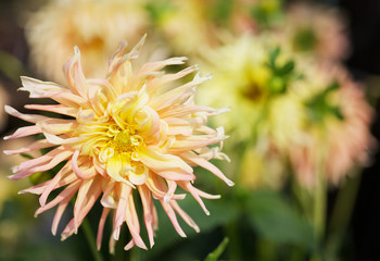 Yellow Dahlia with background
