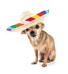 a chihuahua with a hat on