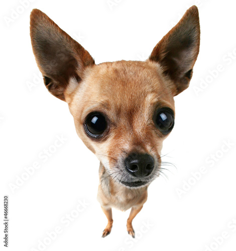 bobble head chihuahua