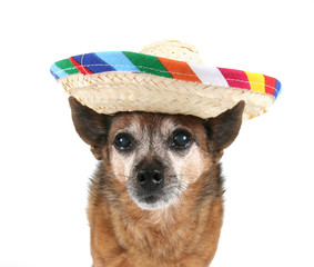a chihuahua dressed up for cinco de mayo