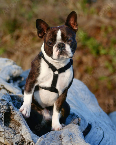 boston terrier on an old tree