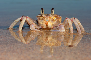 Ghost crab (Ocypode ryderi) on beach
