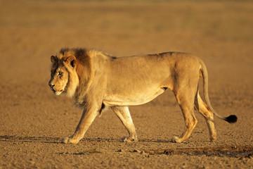 Walking African lion, Kalahari desert