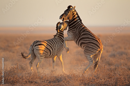 Fighting Zebras, Etosha National Park