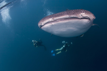 whale shark and a diver