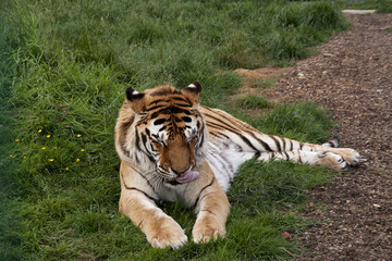 Sleeiping tiger