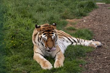 Sleeiping tiger