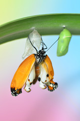 Butterfly on leaf after emerging from chrysalis
