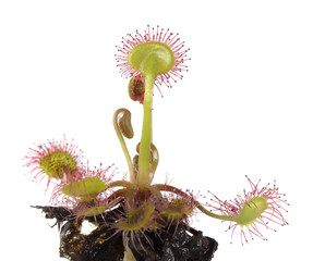 Common sundew (Drosera rotundifolia) isolated on white