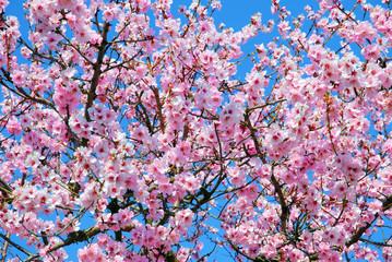 Prunus Dulcis oder Mandelbaum im Frühling