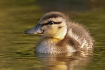 Mallard Duckling