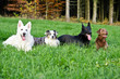 Vier Hunde auf der Wiese vor Wald