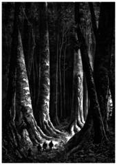 Majestic Big Trees
