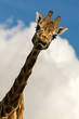 Amusing image of a Giraffe sticking its tongue out