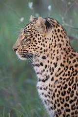 Leopard sucht nach Beute