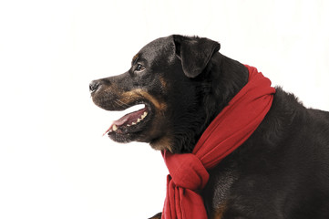 Pure bred rottweiler with christmas outfit isolated on white
