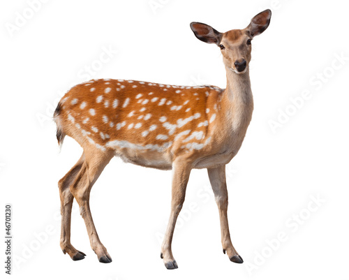 Fallow Deer - 46701230