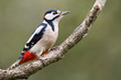 Great Spotted Woodpecker on a tree