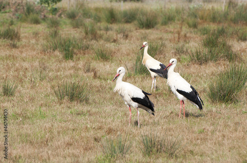 three storks perched on the ground, in the field