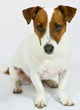 Portrait Jack-Russel-Terrier
