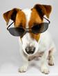 Jack-Russel-Terrier mit Brille