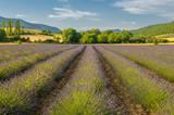 Fototapety Lavender field, Provence, France