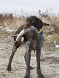 Hunting Dog with a Drake Gadwall poster