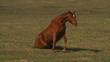 koń siedzi na trawie