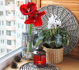 Hippeastrum and cyclamen flowers on a window. Advend