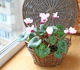 Cyclamen flowers on a window in balcony
