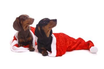 zwei Welpen versteckt in Santa Claus Mütze
