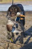Drahthaar Hunting Dog with a Drake Mallard poster