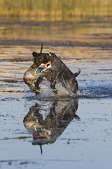 Dog Jumping in shallow water retrieving a Duck